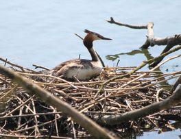 Grèbe-huppé étang de Boué -