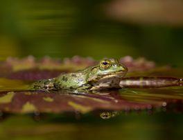 frog-g0b09a6ea9_1920 -