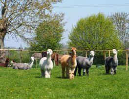 Alpagas en prairie < Sommeron < Thiérache < Aisne < Picardie -