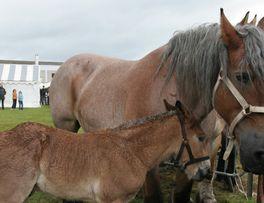 Vitrine du cheval de trait < Hirson < Aisne < Picardie -